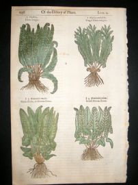 Gerards Herbal 1633 Hand Col Botanical Print. Hart's Tongue & Moon Ferns